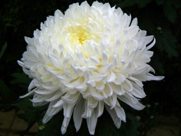 Хризантема одноголовая, Антонов