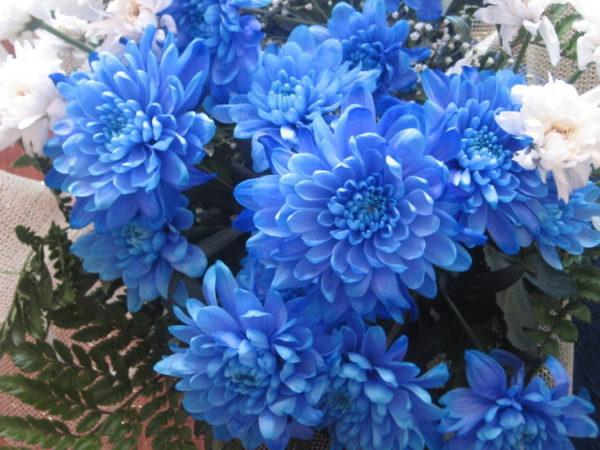 Хризантема кустовая, синяя