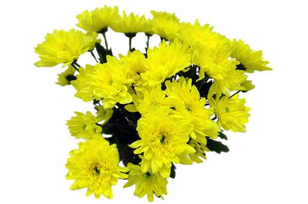 Хризантема кустовая, желтая Baltika, zembla, radost, zehnia, euro.
