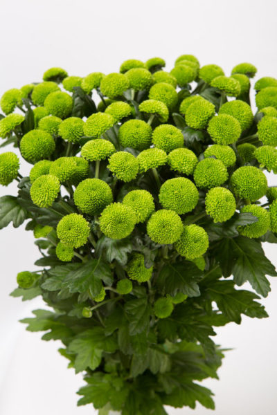 Хризантема кустовая «Feeling green»