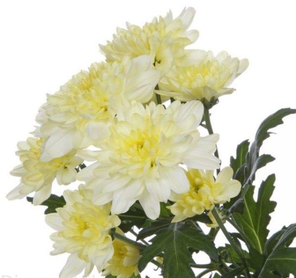 Хризантема кустовая  кремовая Radost, zembla.