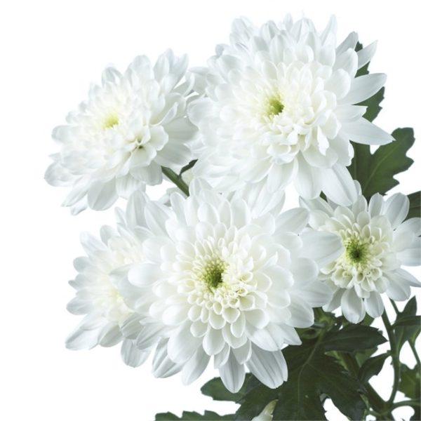 Хризантема кустовая, белая Baltika, zembla, radost, zehnia, euro.