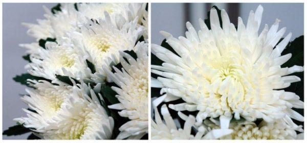 Хризантема одноголовая, белая