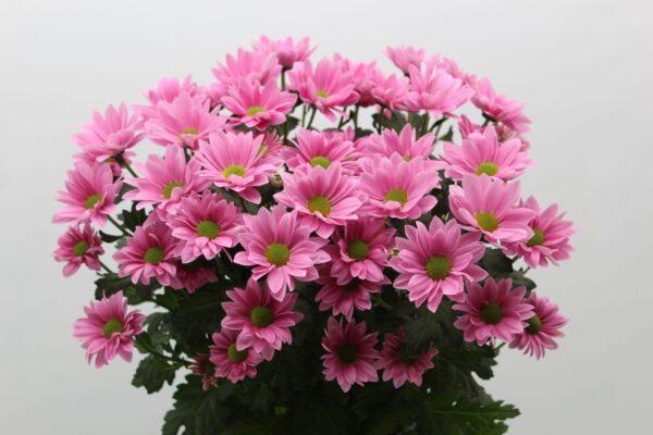 Хризантема «грандпинк»