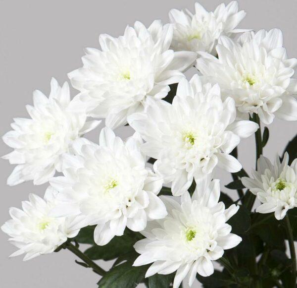 Хризантема «Балтика»